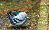 梳理羽毛的鸽子