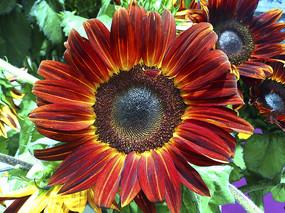 紫金向日葵