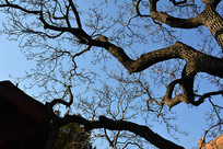 故宫的树木