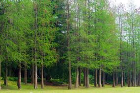 一排嫩绿的水杉树