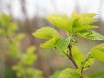 桑果树的发芽树梢