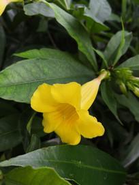 黄色软枝黄婵花朵特写