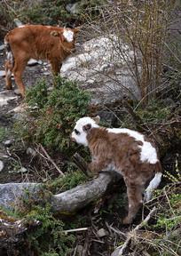 川西高原牧场的小牛