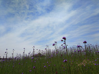 亭子旁的紫色球冠花