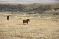 草场上的枣红马