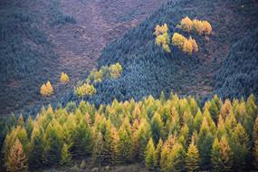 金色针叶林山区