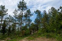 绿色的茂密的松树林