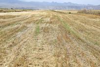 牧场收割后的草根