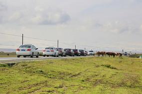 排队等候牛群过马路