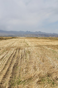 祁连山牧场收割后