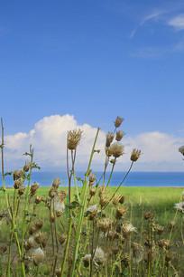 青海湖岸绿植