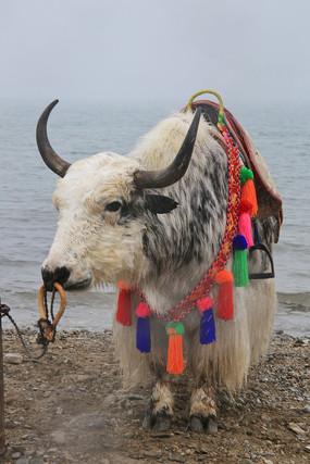 青海湖边牦牛