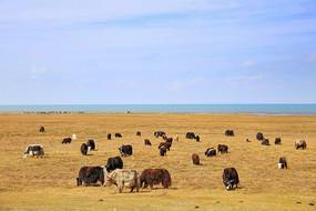 青海湖边牦牛群吃草