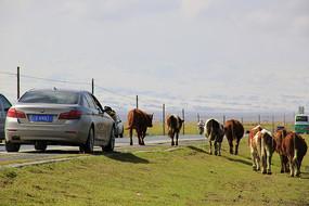 青海湖牛群过马路