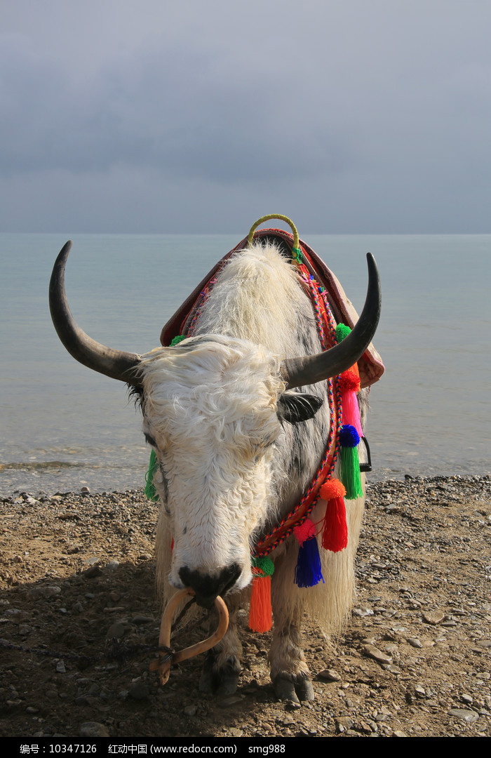 水边牦牛图片