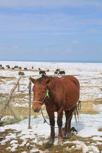 雪地枣红马
