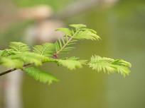 绿色杉树叶子