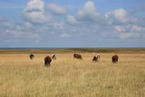 高原草场放牧牦牛