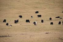 青藏高原黑牦牛