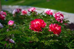 牡丹花盛开了