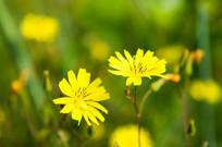独自绽放的小黄花