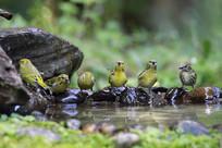 水边歌唱的藏黄雀