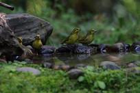 水边休息的藏黄雀