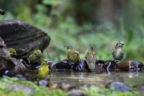 水边悠闲的藏黄雀