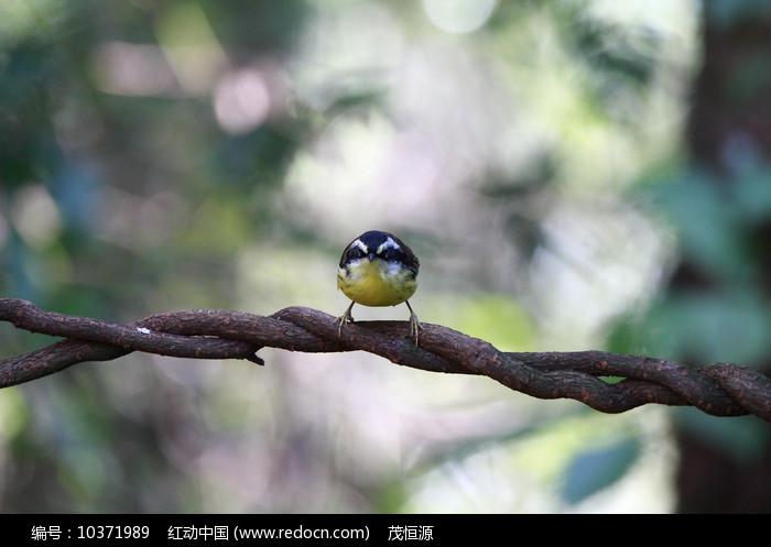 对眼漂亮的火尾希鹛图片