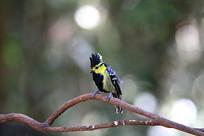 漂亮的黄颊山雀