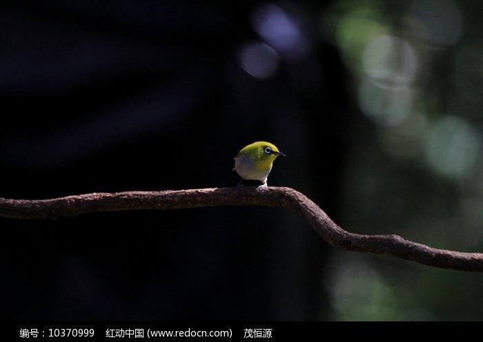 漂亮的灰腹绣眼鸟图片