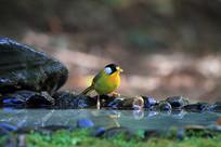 漂亮的银耳相思鸟