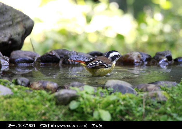 玩水的火尾希鹛图片