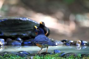 羽毛鲜亮的黑胸鸫