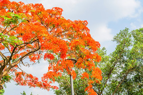 红花凤凰树