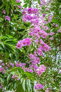 娇媚的紫薇花