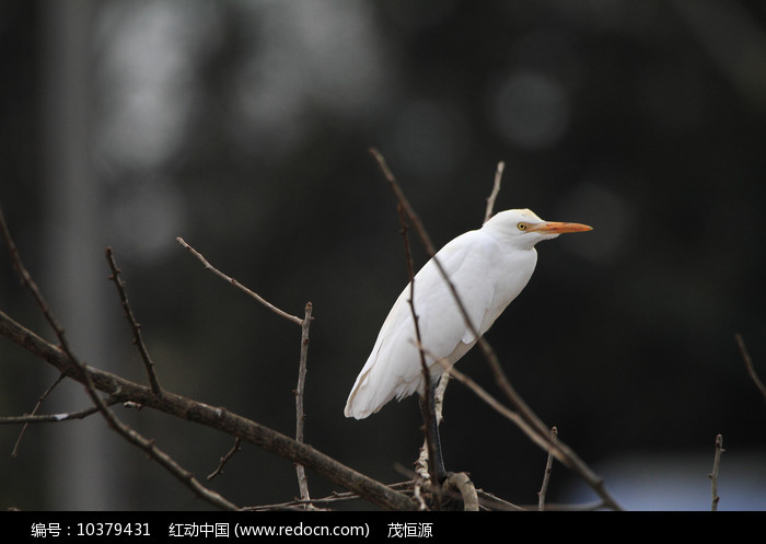 娇媚漂亮的鹭鸶图片