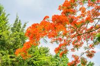 开满红花的火树