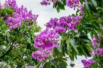 路旁紫色花树