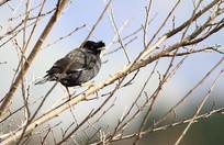 美丽的黑领椋鸟