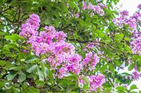 美丽的紫薇花