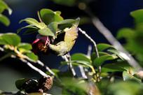 漂亮的叉尾太阳鸟