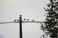 三五成群的黑领椋鸟