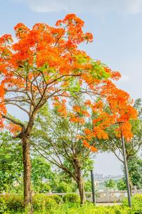 一棵红花火树