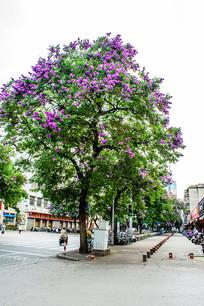一棵紫薇花
