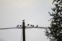 一群的黑领椋鸟