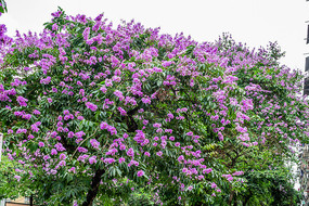 紫金花开满树