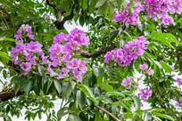 紫色的树花