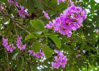 紫色痒痒花