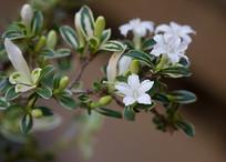 白马骨枝头的白色花朵